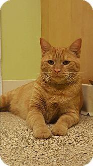 Domestic Shorthair Cat for adoption in Circleville, Ohio - Peanut