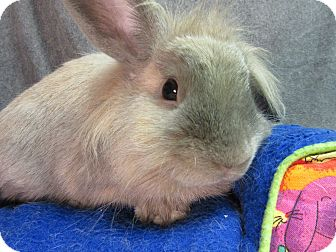 Lionhead Mix for adoption in Newport, Delaware - Dax