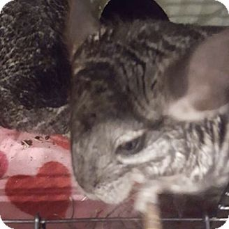 Chinchilla for adoption in Patchogue, New York - Nyla