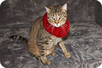 Domestic Shorthair Cat for adoption in Jackson, Mississippi - Pooh