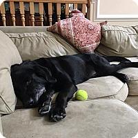 Adopt A Pet :: Dozer #2 - Fairfax, VA