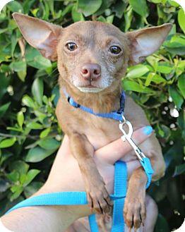 Chihuahua Dog for adoption in Los Angeles, California - Bernie