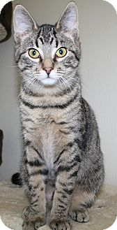 Domestic Shorthair Cat for adoption in Edmonton, Alberta - Parker