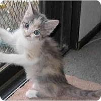 Adopt A Pet :: Gizmo - Davis, CA