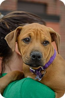 Shepherd (Unknown Type)/Boxer Mix Puppy for adoption in Detroit, Michigan - Amorae-Adopted!
