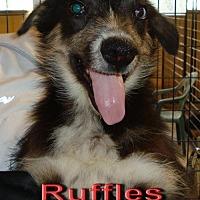 Adopt A Pet :: Ruffles - Coleman, TX