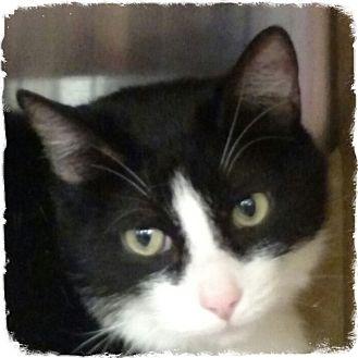 Domestic Shorthair Cat for adoption in Pueblo West, Colorado - Synapse