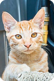 Domestic Shorthair Cat for adoption in Los Angeles, California - Elsa