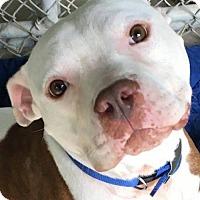 Pit Bull Terrier Dog for adoption in Kansas City, Missouri - Sammy