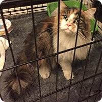 Domestic Longhair Cat for adoption in Glendale, Arizona - Mistletoe