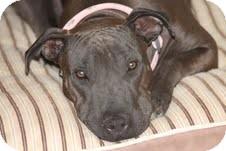 Shar Pei Mix Dog for adoption in Yuba City, California - Sadie