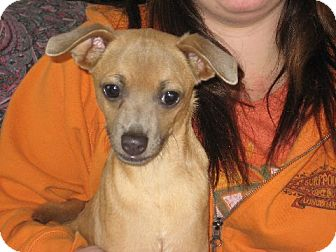 Chihuahua Dog for adoption in Greenville, Rhode Island - Omar