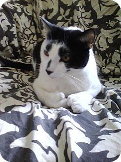 Polydactyl/Hemingway Cat for adoption in Brooklyn, New York - Hemingway