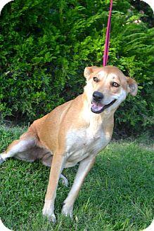 Labrador Retriever/Labrador Retriever Mix Dog for adoption in San Diego, California - Kym