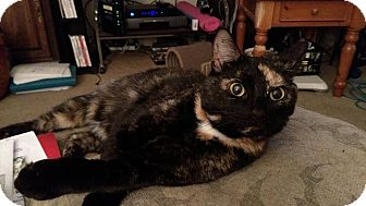 Calico Cat for adoption in Hopkinsville, Kentucky - Candi