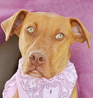 Doberman Pinscher Mix Dog for adoption in Littlerock, California - Darcy