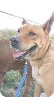 Australian Cattle Dog/Labrador Retriever Mix Dog for adoption in Lubbock, Texas - Barney