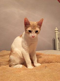 Domestic Shorthair Cat for adoption in Jacksonville, Texas - Vinnie