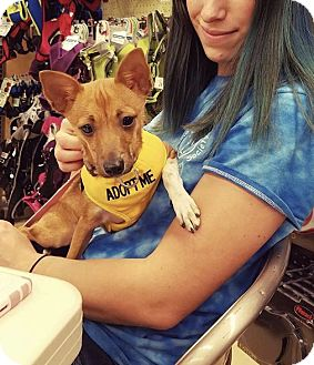 Chihuahua/Feist Mix Dog for adoption in Hendersonville, North Carolina - Leaf