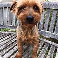 Adopt A Pet :: Toto - Fredericksburg, TX
