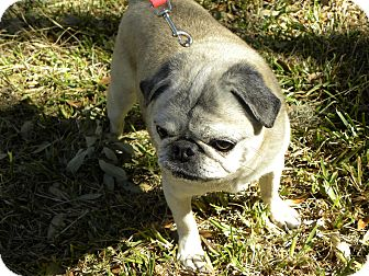 Pug Dog for adoption in Austin, Texas - Kiwi