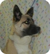 Akita Mix Dog for adoption in Antioch, Illinois - Renee Tailwagger ADOPTED!!