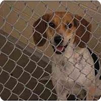 Adopt A Pet :: Boingo - Phoenix, AZ