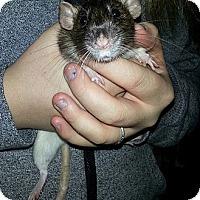 Adopt A Pet :: Medina - Lakewood, WA