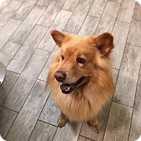 Adopt A Pet :: Romeo - Manhasset, NY