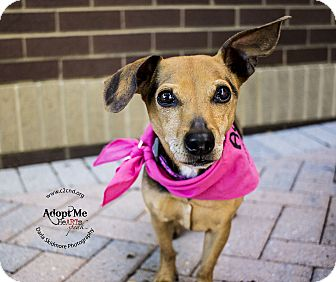 Beagle/Dachshund Mix Dog for adoption in Charlotte, North Carolina - Retton