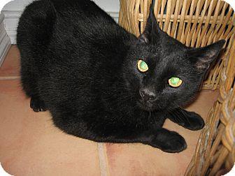 Domestic Shorthair Cat for adoption in Fallon, Nevada - Jackson