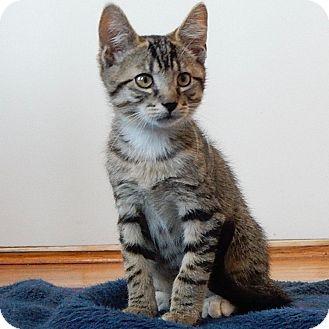 Domestic Shorthair Kitten for adoption in Long Beach, New York - Mack