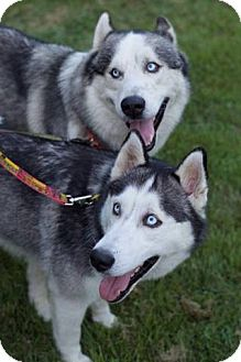 Siberian Husky/Alaskan Malamute Mix Dog for adoption in Beacon, New York - Zina and Kodiak (Combined fee)
