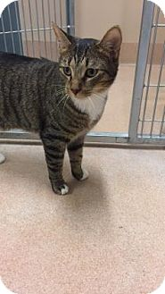 Domestic Shorthair Cat for adoption in Cumming, Georgia - Kade