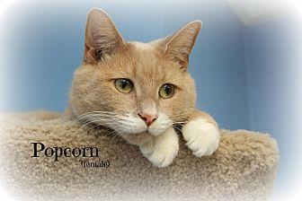 Domestic Shorthair Cat for adoption in Glen Mills, Pennsylvania - Popcorn