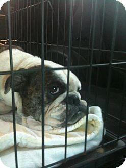 English Bulldog Dog for adoption in Winder, Georgia - Winnie