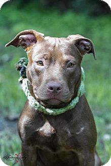 American Pit Bull Terrier/Labrador Retriever Mix Puppy for adoption in Winter Haven, Florida - Madison
