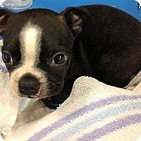 Adopt A Pet :: Button - Silsbee, TX