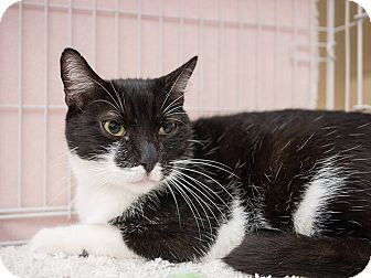 Domestic Shorthair Cat for adoption in Seattle, Washington - Irwin