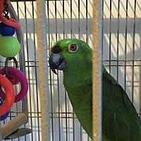 Amazon for adoption in Punta Gorda, Florida - Bob & Gigi