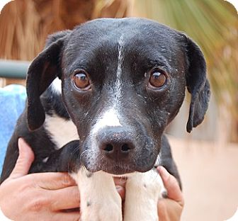 Beagle/Whippet Mix Dog for adoption in Las Vegas, Nevada - Terrance