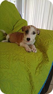 Terrier (Unknown Type, Small) Mix Puppy for adoption in LAKEWOOD, California - Sara