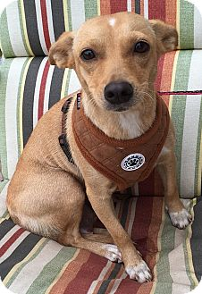 Jack Russell Terrier/Beagle Mix Dog for adoption in Pennigton, New Jersey - Squeaks