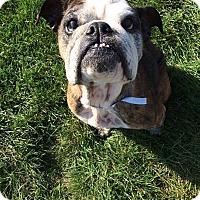 English Bulldog Dog for adoption in Columbus, Ohio - Roxey