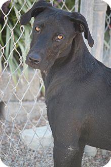 Labrador Retriever Mix Dog for adoption in Mahwah, New Jersey - Durango