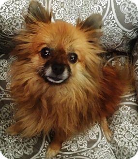 Pomeranian Dog for adoption in Irvine, California - LeeLoo