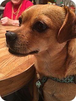 Chihuahua/Pug Mix Dog for adoption in Everett, Washington - Honey Bear