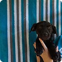 Adopt A Pet :: Akira - Oviedo, FL
