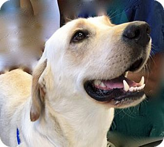 Golden Retriever Mix Dog for adoption in BIRMINGHAM, Alabama - Sassy II