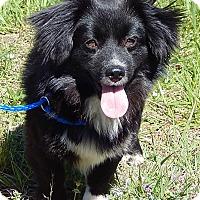Adopt A Pet :: Theodore (12 lb) Sweetie Pie - SUSSEX, NJ